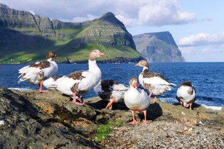 Photo pour Oies domestiques blanches et grises sur la côte atlantique de l'océan. Îles Féroé, Danemark - image libre de droit