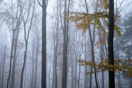 Photo pour Mysterious dark beech forest in fog, Can. Le matin d'automne dans la brume des bois. Atmosphère de brouillard magique. Photographie paysagère - image libre de droit
