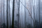 Mysterious dark beech forest in fog