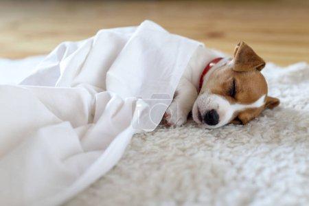 Photo pour Chiot Jack Russel terrier dormant sur des carpes blanches sur le sol. Petit chien guilleret. Animaux familiers concept - image libre de droit