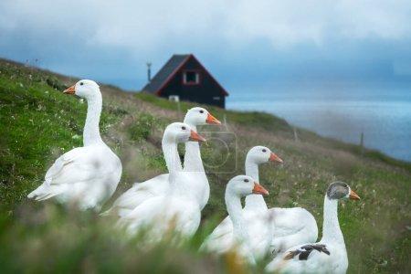 Photo pour Oies domestiques blanches sur pâturage d'herbe verte près de la maison noire faroese traditionnelle. Îles Féroé, Danemark - image libre de droit