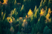 Beautiful evergreen forest with fir trees