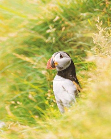 Photo pour Célèbre oiseau faroese - macareux sur le bord de la côte herbeuse de l'île de Féroé Mykines dans l'océan Atlantique. Îles Féroé, Danemark. Photographie animale - image libre de droit
