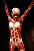 fully plastinated human body