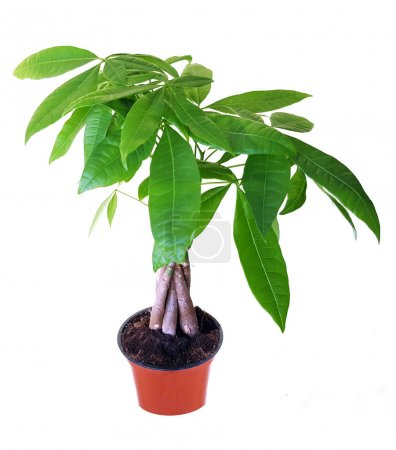 Photo for Pachira aquatica or money tree on white background - Royalty Free Image