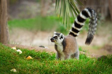 lemur in the grass (Lemur catta)