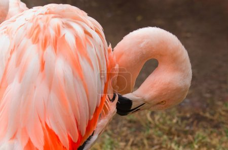 flamingos in nature. (Phoenicopterus ruber)