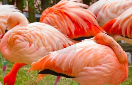 flamingos in nature. (Phoenicopterus ruber)