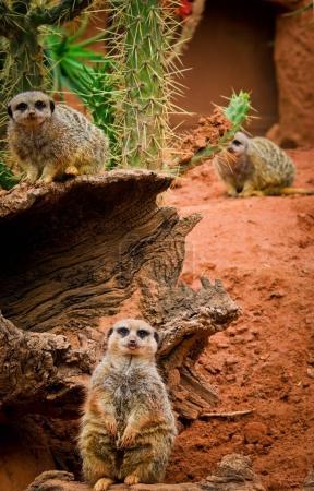 Meerkat animals(Suricata suricatta) in zoo