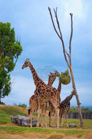 Foto de Jirafas en el zoológico de Puebla, México - Imagen libre de derechos