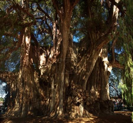Giant sacred tree in Tule