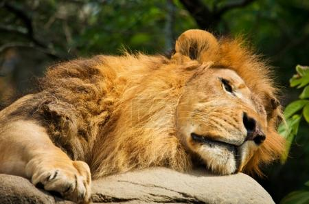 Lion sleeping on the rock
