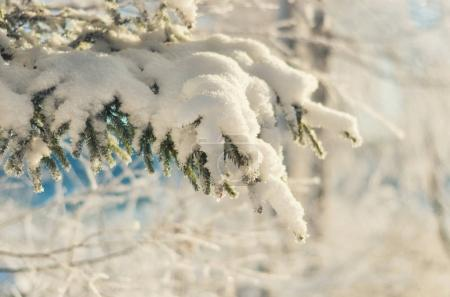 evergreen branches pine tree with fresh snow