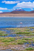 Pink flamingo at Lake Hedionda , Bolivia