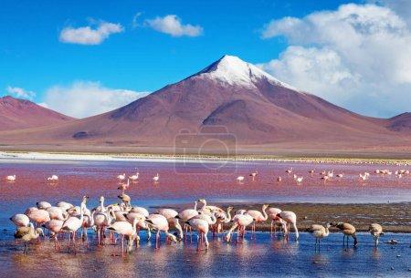 Photo pour Flamants roses en Omasuyos, la Bolivie - image libre de droit