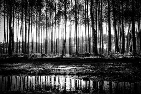 tree trunks and sun rays