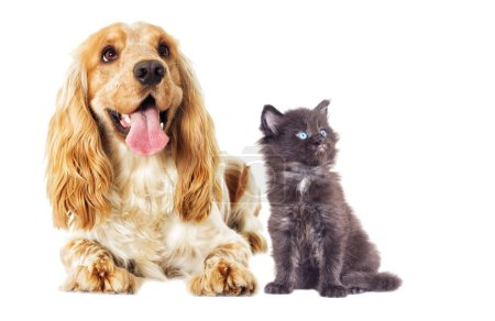 Little Maine Coon kitten and English Spaniel dog looks