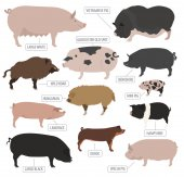 Pigs hogs breed icon set Flat design