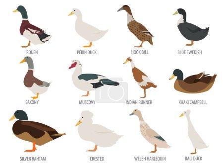 Poultry farming. Duck breeds icon set. Flat design...