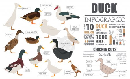 Poultry farming infographic template. Duck breeding. Flat design