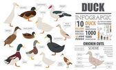 Poultry farming infographic template Duck breeding Flat design
