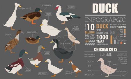 Poultry farming infographic template. Duck breedin...