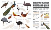 Poultry farming infographic template Peafowl ostrich pheasant