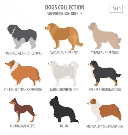 Shepherd dog breeds, sheepdogs collection isolated on white. Fla