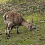 Постер, плакат: Lonely Alpine ibex on pasture