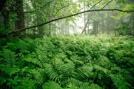Photo pour Épaisse fougère verte dans la forêt après la pluie avec le brouillard et les arbres. La nature environnante dans la forêt et la tranquillité. - image libre de droit