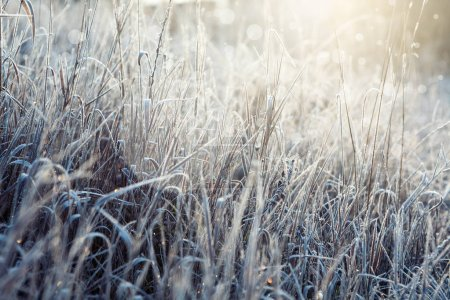 Frosted grass with sunshine. Beautiful nature background