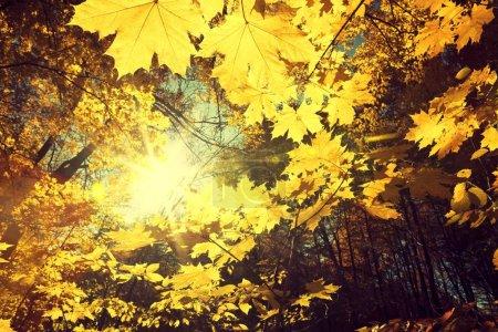 Photo pour Dans la forêt d'automne, la lumière du soleil. Fond de beauté nature - image libre de droit