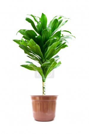 Photo for Home plant isolate on white background - Royalty Free Image