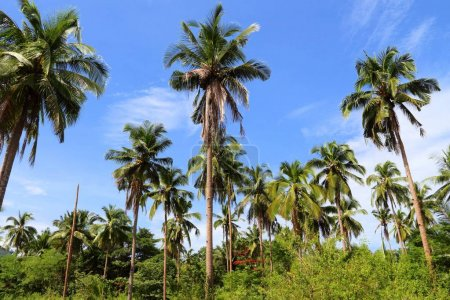 Palm trees of Palawan