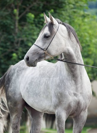 portrait of  grey arabian stallion