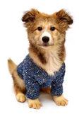 cute puppy in sweater