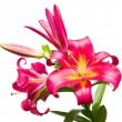Beautiful  branch of pink lilies  isolated on whit...