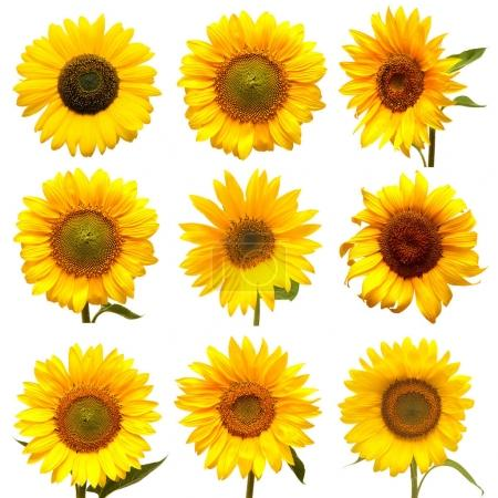 yellow Sunflowers collection