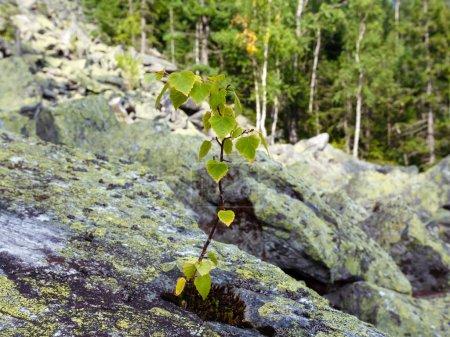 Photo pour Petit bouleau pousse sur la pierre sur éboulis de rochers coulissants du mont Ihrovets, montagne des Carpates, Ukraine . - image libre de droit