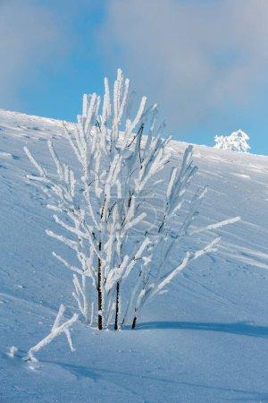 Photo pour Hiver du matin calme paysage de montagne avec glaçage beaux arbres et des congères sur la pente (Carpates, Ukraine) - image libre de droit