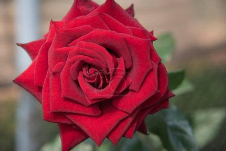 Red rose with buds and green bush background, Flow...