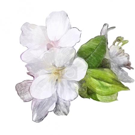 Photo pour Flowers of Apple  isolated on a white background.  Hand-drawn illustration. Drawing with colored pencils. - image libre de droit