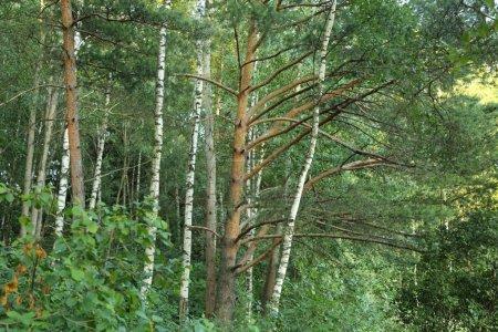 Photo pour Image extérieure de forêt d'arbre de pin - image libre de droit