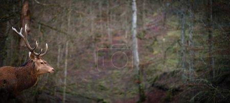 Photo pour Paysage hivernal avec cerfs nobles Cervus Elaphus. Habitat naturel - image libre de droit