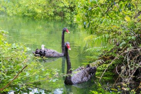 Two beautiful Black Swans, Lake Taupo, New Zealand