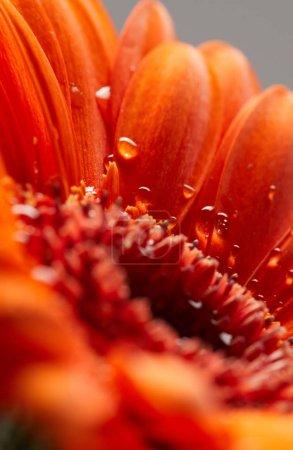 Photo pour Gerbera fleur avec des gouttes d'eau gros plan - image libre de droit