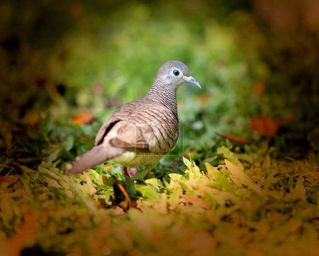 Photo pour Photo macro tourterelles sud sur fond d'herbe verte - image libre de droit