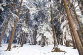 Winter forest landscape with frosty and snowy pine trees