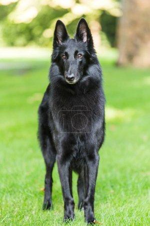 Photo pour Beau plaisir Groenendael chien chiot attente. Berger belge noir Groenendael Portrait d'automne - image libre de droit
