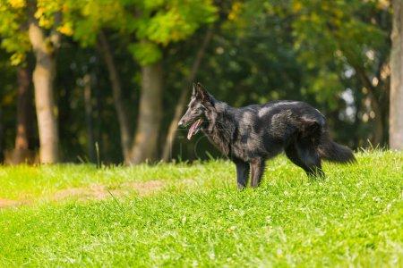 Photo pour Portrait de chien intelligent noir - image libre de droit